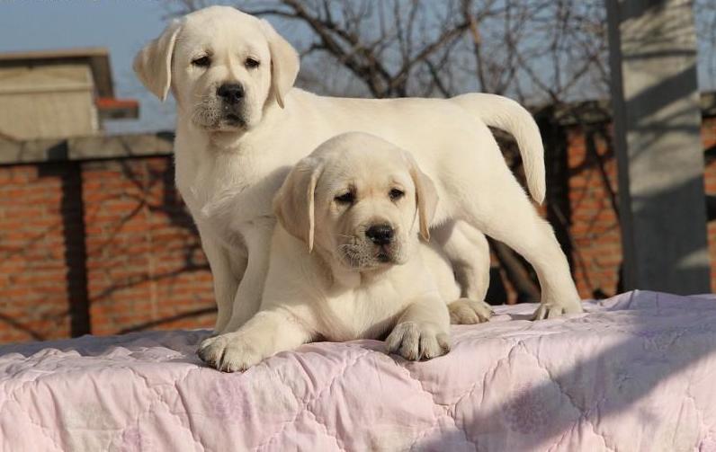 家养繁殖 健康纯种 拉布拉多幼犬 上门挑选可视频支持发货