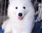 北京出售纯种精品银狐犬尖嘴犬狐狸狗活体幼犬家养宠物狗