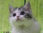 家庭猫舍美短加白起司猫 包纯种健康