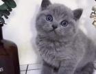 英短蓝猫 大包子脸蓝猫,甜美可爱