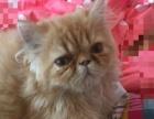 黄色纯茄菲猫,4个月大,女猫