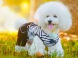 东营正宗日系小柴犬出售中 多只可选 包健康三个月