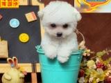 纯种贵宾犬 带血统出售 终身质保 质量三包 签