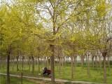 贵州30公分皂角树长年出售批发