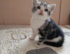 江门哪里买猫 出售家养美国短毛猫 虎斑猫 美短加白 包健康