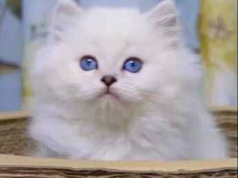 異國短毛貓體型 店鋪搜:雙飛貓