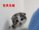 蓝白英短 折耳猫起司猫 粉鼻子八字脸 美短起司