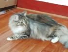 CFA纯种挪威森林猫,哪里有挪威森林猫上海挪威森林猫什么价格