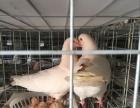 河南鸽子养殖基地招商