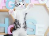 曼基康矮脚猫活体宠物猫咪小短腿拿破仑