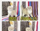 纯种布偶猫咪 蓝双海双枫叶脸 短毛猫嫩多 包健康