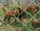 哪里出售纯种马犬实物拍摄价格公道马犬照片马犬价格