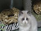 萌主驾到CFA证书布偶猫出售 不可错过 错过后悔不及