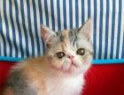 转让自家繁育的加菲猫/异国短毛猫多只,加菲成母一只