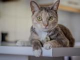 马鞍山正规猫舍出售纯种金渐层 美短可送货上门