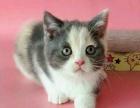 南京猫舍英短小猫便宜出售啦