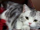 太原萌猫生活馆--专业繁育美短虎斑、英短蓝猫、