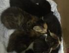 家养猫满月小猫免费赠送