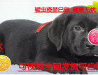 劲爆中拉布拉多幼犬便宜出售,诚心想养的联系我