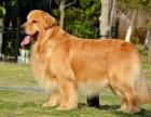 出售金毛犬 纯种金毛幼犬 品相好 健康保证