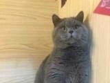 【安琪猫舍】专业繁殖英短名猫,英短宠物猫和血统猫