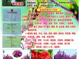 洛阳孟津县优质红玉海棠西府海棠7公分价格