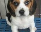 上海哪里有比格犬卖 上海比格犬价格 上海比格犬多少钱