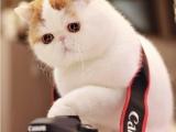 全國連鎖--到店挑選--加菲貓/折耳貓/金吉拉--送貨到家