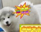 出售自家繁殖 阿拉幼犬、保纯种健康 三年质保