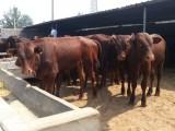 養殖場大量出售純種西門塔爾牛 提供牛犢養殖技術 免費運輸