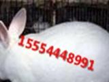 山东种兔培育中心出售肉兔 獭兔 长毛兔 野兔 杂交野兔价格