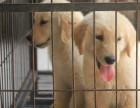 北京养殖基地直销,博美拉布拉多金毛比熊比格犬,等多品种