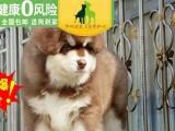出售阿拉斯加幼犬狗狗