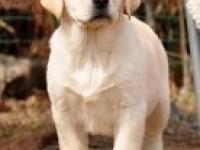 上海宠物狗上海哪里能买到纯种拉布拉多 上海拉布拉多幼犬出售