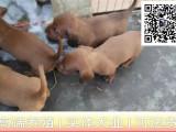 哪里出售腊肠犬 纯种腊肠多少钱