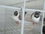摩登那鸽子 大体摩登那 三色摩登那 品种全