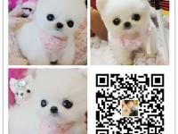 重庆犬舍出售纯种博美犬 自产自销 签协议 面对面交易