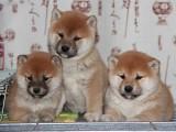 佛山市柴犬价格 顺德区哪里有卖柴犬的 柴犬多少钱一只