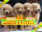 純種大頭金毛幼犬 專業繁殖 包純種簽合同保健康
