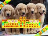 纯种大头金毛幼犬 专业繁殖 包纯种签合同保健康