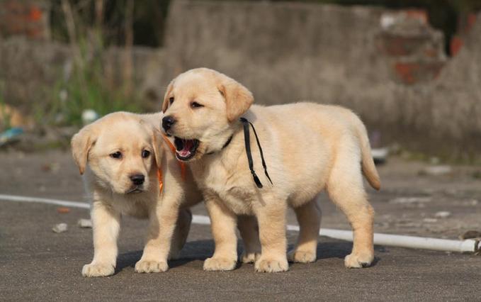 武汉出售 拉拉 金毛犬 比熊泰迪 柴犬 博美犬柯基犬品种齐全