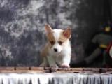 威尔士柯基幼犬出售二色三色纯种柯基宝宝赛级