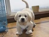 自家繁殖,品相佳,骨架粗的拉布拉多幼犬特价出售