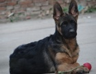纯种的德国牧羊犬黑背适合小孩养吗 性格怎么样