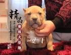 哈尔滨恶霸犬多少钱一只