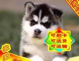 【哈士奇犬视频看狗】可送货上门、签协议保健康