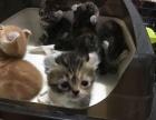 猫店猫舍转让各种猫咪千元以内