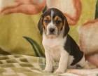 基地巴吉度犬舍 专业繁殖出售高品质巴吉度幼犬 保证纯种健康