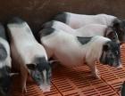 巴马香猪猪苗出售体重20斤左右价格优惠喜欢的养殖的联系