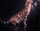 低价出售豹猫一窝,高品质英短蓝白 重点色可上门
